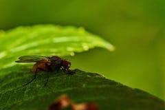 Een vlieg op een blad van bes stock fotografie