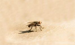 Een vlieg op de vloer, Vlieg is drager van diarree, Macro van een groene vlieg Royalty-vrije Stock Afbeeldingen