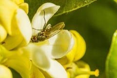 Een vlieg op pittosporumbloemblaadje royalty-vrije stock fotografie