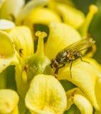 Een vlieg op pittosporumbloemblaadje royalty-vrije stock afbeeldingen