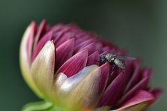 Een vlieg zit rust op een bloem Royalty-vrije Stock Foto