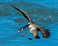 Een vliegende Canadese Gans die in water voorbereidingen treffen te landen royalty-vrije stock fotografie