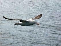 Een vliegende het Wandelen Albatros, van de kust van Kaikoura, Zuideneiland, Nieuw Zeeland royalty-vrije stock afbeeldingen