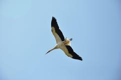 Een vliegende ooievaar Stock Foto