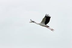 Een vliegende ooievaar Openbill stock fotografie