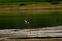 Een vliegende reiger boven het water Stock Afbeeldingen