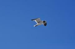 Een vliegende Zeemeeuw Stock Afbeelding