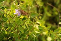 Een Vlinder blijft op purpere bloemen en zuigt nectar Stock Foto's