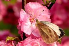 Een vlinder die zich op de perzikbloesem bevinden Royalty-vrije Stock Afbeelding