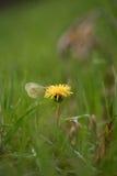 Een vlinder die zijn vleugels hebben gevouwen, zit op een paardebloem onder t Stock Foto