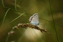 Een vlinder met gekleurde vleugels (Scolitantides-knuppel) Royalty-vrije Stock Afbeelding
