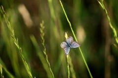 Een vlinder met grote vleugels (Phengaris-arion) Royalty-vrije Stock Foto's