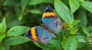 Een vlinder met open vleugels Stock Afbeelding