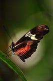 Een vlinder Monach Stock Afbeeldingen