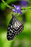 Een vlinder Monach die Nectar zoekt Stock Afbeelding