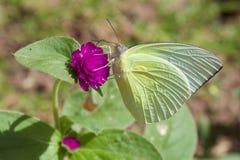 Een vlinder nippende nectar van purpere bloem Royalty-vrije Stock Foto's