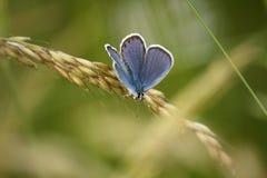 Een vlinder op een aar (Phengaris-arion) Royalty-vrije Stock Fotografie