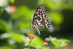 Een vlinder op gele bloem wordt neergestreken die Stock Afbeelding