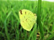 Een vlinder op gras Stock Afbeeldingen