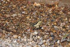 Een vlinder van de Monarch stock fotografie