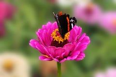 Een vlinder verzamelt nectar op een roze bloem van een bevallige tsinii Een bloem van een tsinii bevallig op een geïsoleerde groe royalty-vrije stock foto