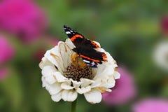 Een vlinder verzamelt nectar op een witte bloem van een bevallige tsinii Een bloem van een tsinii bevallig op een geïsoleerde gro royalty-vrije stock fotografie