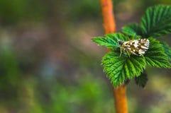 Een vlinder zit op de bladeren van een frambozeninstallatie royalty-vrije stock fotografie