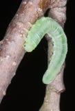 Een vlinderlarve stock afbeelding