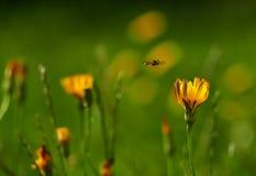 Een Vlucht naar de Gouden Nectar stock afbeeldingen