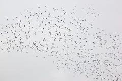 Een vlucht van kieviten in Friesland, Nederland Royalty-vrije Stock Foto