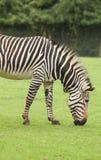 Een voedende Zebra Royalty-vrije Stock Fotografie