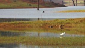 Een vogel die in een rivier benieuwd zijn stock videobeelden