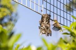 Een vogel die terug haar net met wat die materiaal op onderstel vliegen, ook op de vleugel met omhoog gesloten wordt gedetailleer Stock Foto's