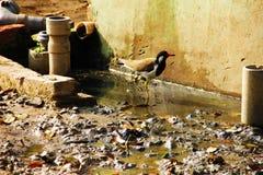 Een Vogel in Dorpslandbouwbedrijven met bruine modder royalty-vrije stock afbeelding