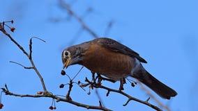 Een vogel eet fruit stock fotografie