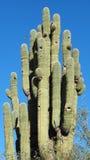 Een Vogel Flys aan zijn Nest in een Oude Saguaro-Cactus stock afbeelding