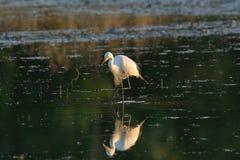 Een vogel in moerasland Stock Foto