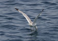 Een vogel over het overzees Stock Foto