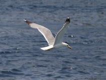 Een vogel over het overzees Stock Foto's