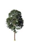 Een volledige boom in het regenachtige seizoen Stock Foto