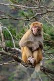 Een volwassen aap zit op een boeg stock foto's