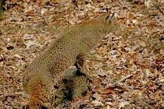 Een volwassen Bobcat besluipt zijn prooi. Royalty-vrije Stock Afbeelding
