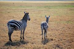 Een volwassen en jonge zebra Stock Foto