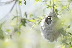 Een volwassen Europees-Aziatische pendulinus die van Remiz van de pendulinemees een wijfje verzoeken uit zijn nest wat hij bij de stock afbeeldingen