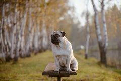 Een volwassen hond, pug, wijfje zit op een bank in een park tijdens zonsondergang en gouden uur stock foto's