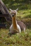 Een volwassen lama in de schaduw stock fotografie