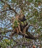 Een volwassen mannelijke olijfbaviaan die in een boom in het Nationale Park Tanzania eten van Tarangire stock fotografie