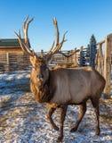 Een volwassen maral mannetje met grote hoornen bevindt zich in de pen, Altai, Rusland royalty-vrije stock fotografie