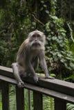 Een volwassen zitting van de macaqueaap op het hout in het bos van de regenaap in Ubud, Bali, Indonesië Stock Afbeeldingen