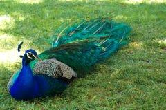 Een vorstelijke en kleurrijke pauw die in een Spaanse tuin rusten Royalty-vrije Stock Fotografie